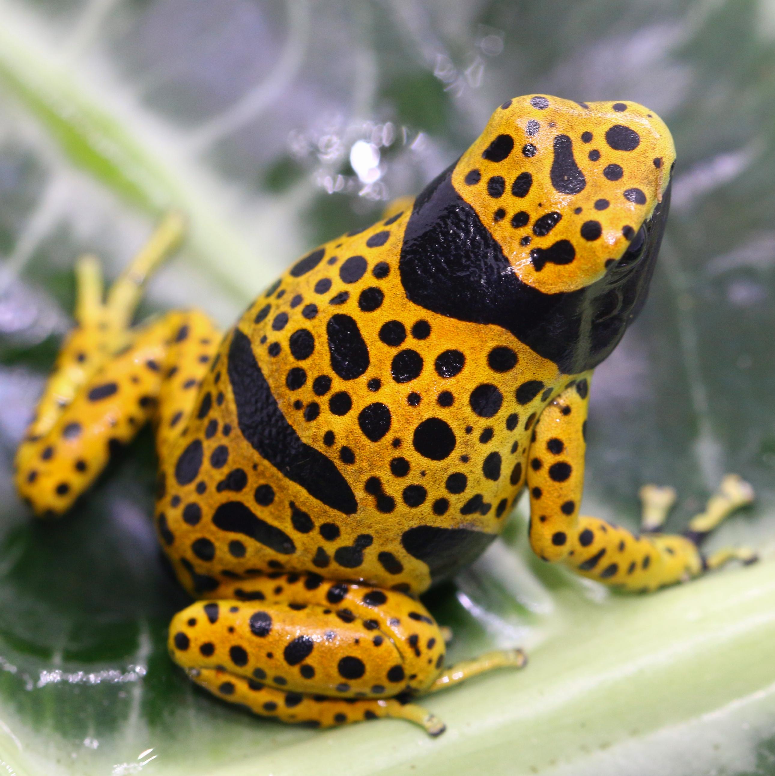 Dendrobates Leucomelas Bolivar (Fine Spot)