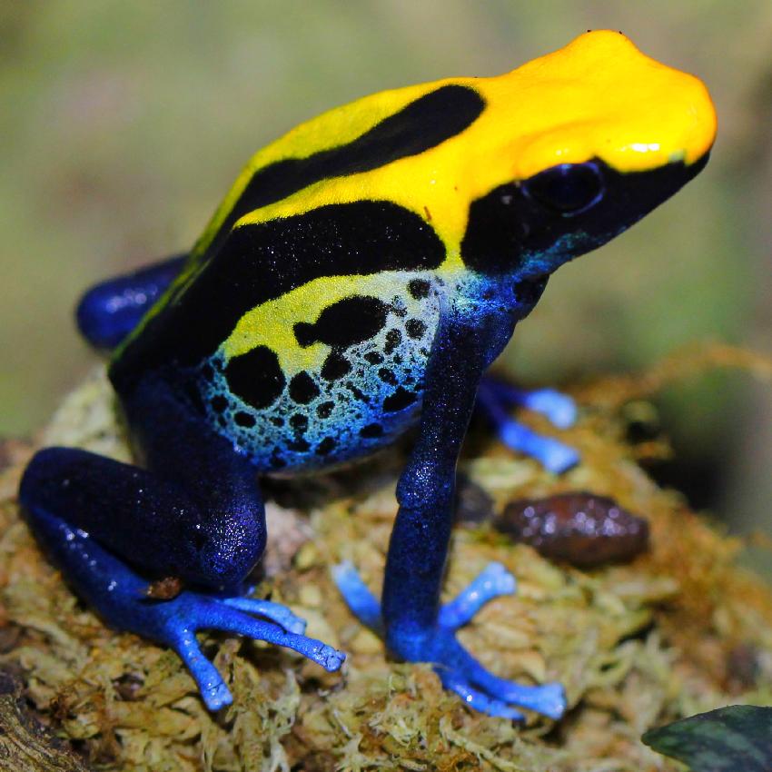 Dendrobates Tinctorius Brazilian Yellow Head