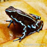 Dendrobates truncatus Blue