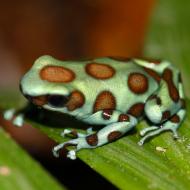 Dendrobates auratus Microspot