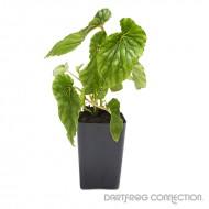 Begonia chlorosticta Green Form