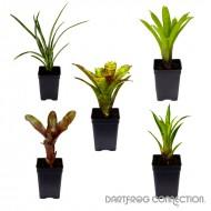 DFC Bromeliad 5 Plant Bundle