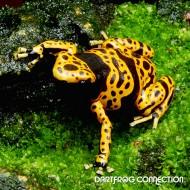 Dendrobates Leucomelas Fine Spot