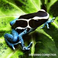 Dendrobates Tinctorius Powder Blue