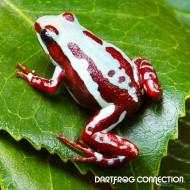 Epipedobates Tricolor Highland