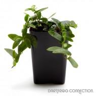"""Ficus sp. """"Lance Leaf"""""""