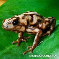 Dendrobates Auratus  Campana