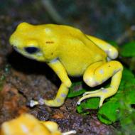 Dendrobates auratus Golden