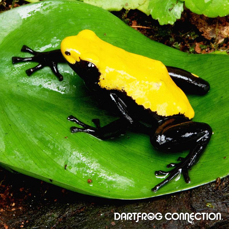 Adelphobates Galactonotus Yellow