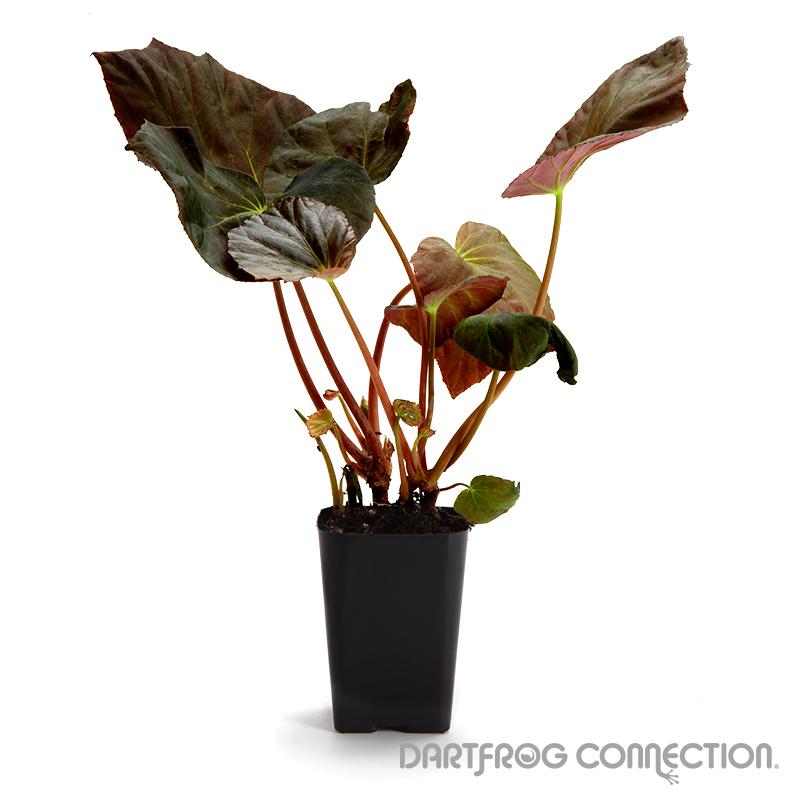 Begonia pavonina
