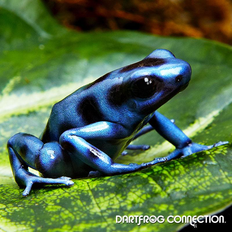 Dendrobates Auratus  Blue & Black