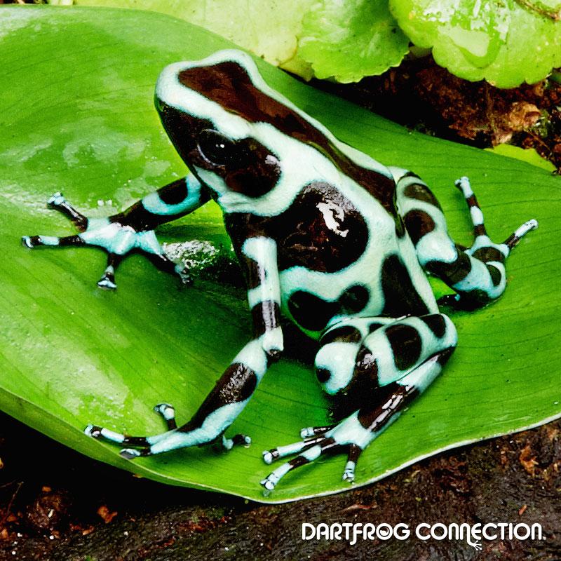 Dendrobates Auratus  Green & Black Panama
