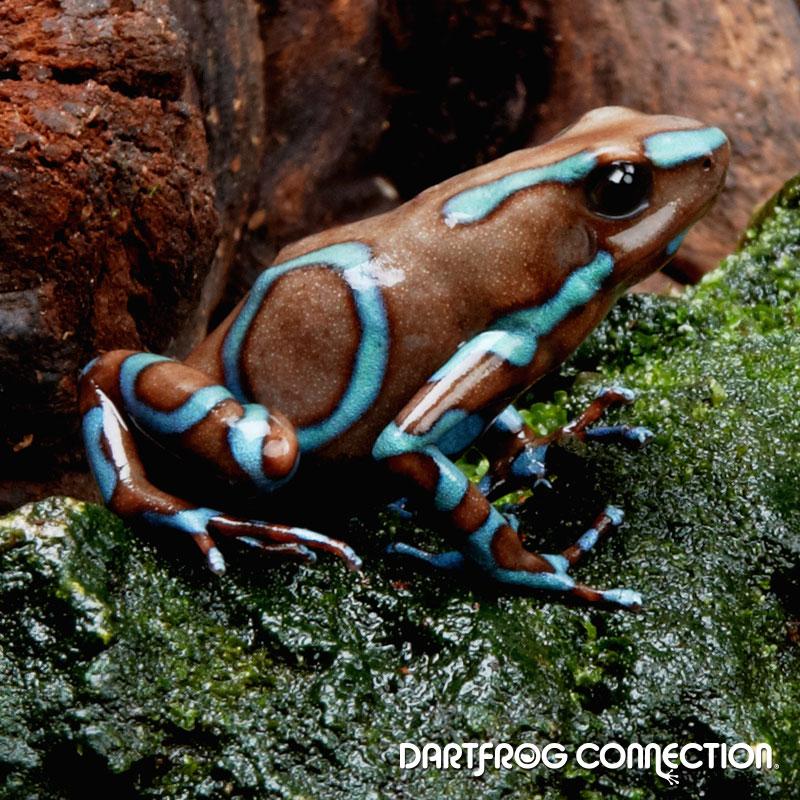 Dendrobates Auratus Super Blue