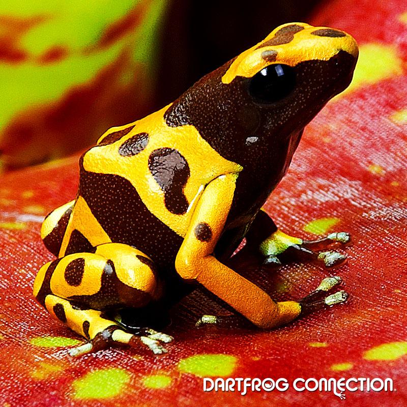 Dendrobates Leucomelas Chocolate