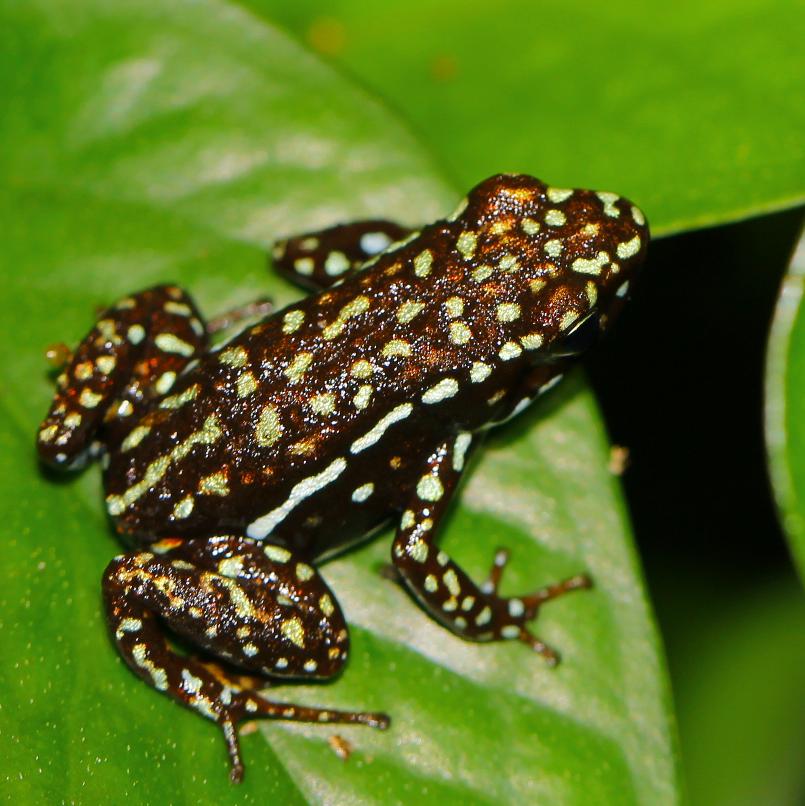 Epipedobates tricolor Cieletos