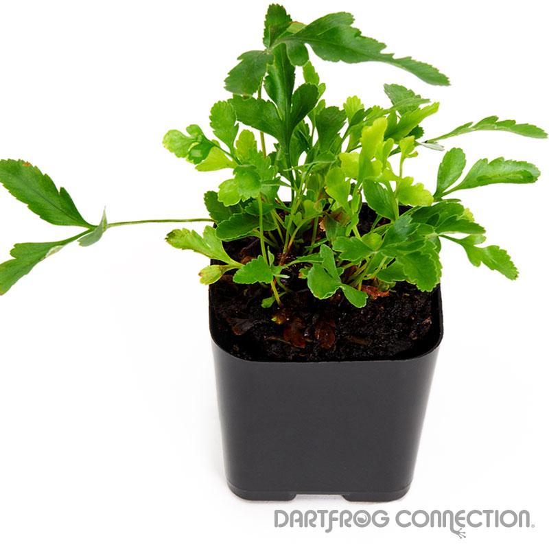 scyphularia pycnocarpa