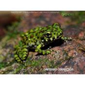 DFC NEWS: Ishikawa's Frog in Danger