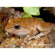 18_booroolong frog