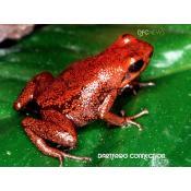 01_Demonic Poison Frog