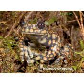 DFC NEWS: Ecuadorian Frog