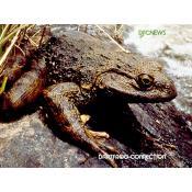 10_goliath frog