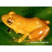 17_new panama frog