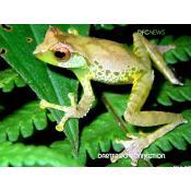 13_quangs tree frog